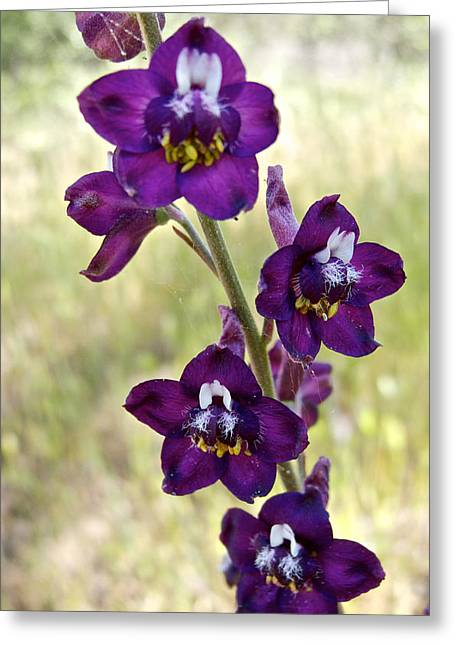 Cow Poison In Park Sierra-ca Greeting Card by Ruth Hager