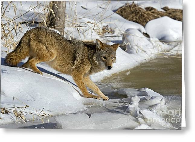North American Wildlife Photographs Greeting Cards - Coyote Greeting Card by Linda Freshwaters Arndt