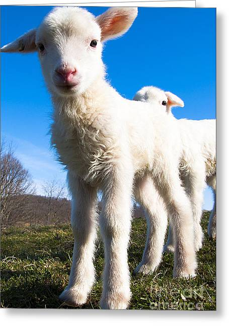 New Beginnings Greeting Cards - Curious day-old Lambs Greeting Card by Thomas R Fletcher