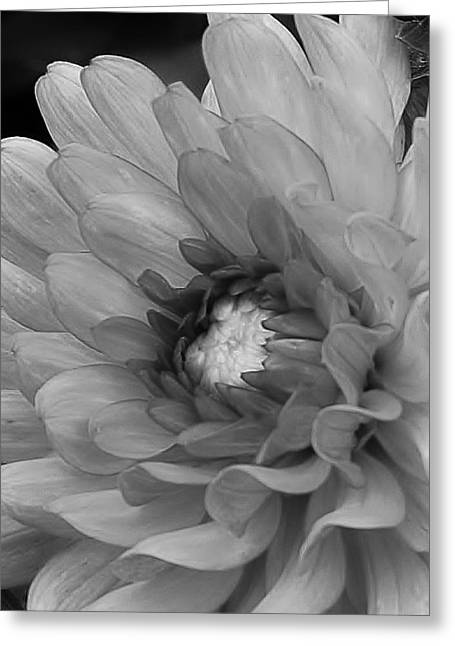 Dahlia In Black And White Greeting Card by Bruce Bley
