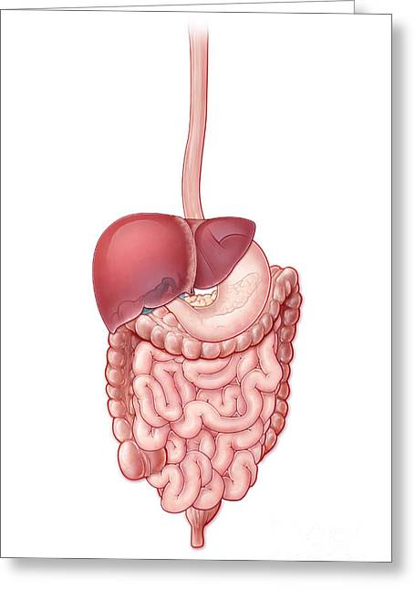 Gi Greeting Cards - Digestive System, Illustration Greeting Card by Evan Oto