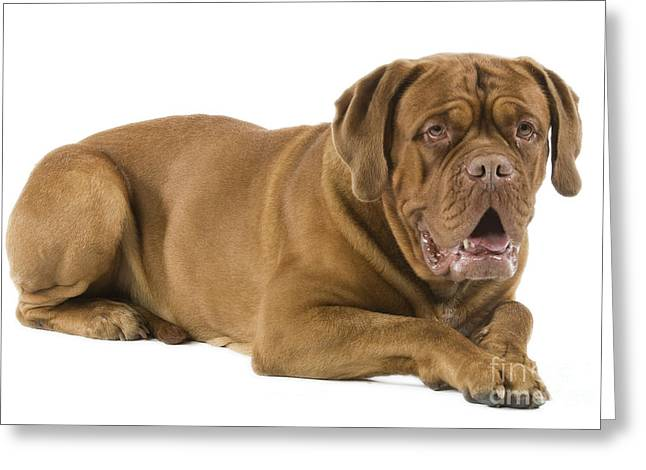 French Open Greeting Cards - Dogue De Bordeaux Greeting Card by Jean-Michel Labat