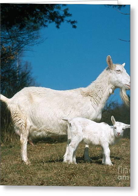 Barn Yard Greeting Cards - Domestic Goat Greeting Card by Hans Reinhard