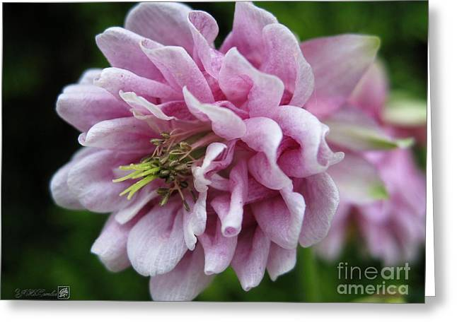 Mccombie Greeting Cards - Double Columbine named Pink Tower Greeting Card by J McCombie