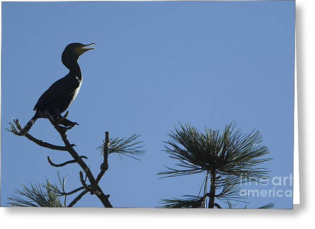 Phalacrocorax Auritus Greeting Cards - Double-crested Cormorant Greeting Card by John Shaw