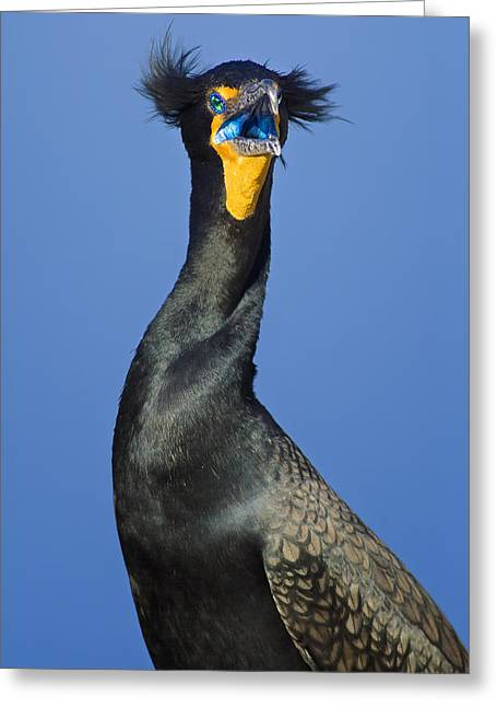 Double-crested Cormorant Greeting Cards - Double Crested Cormorant Greeting Card by Patrick M Lynch