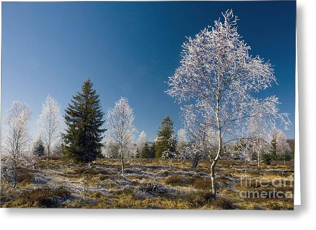 Downy Greeting Cards - Downy Birch Betula Pubescens Greeting Card by Bob Gibbons