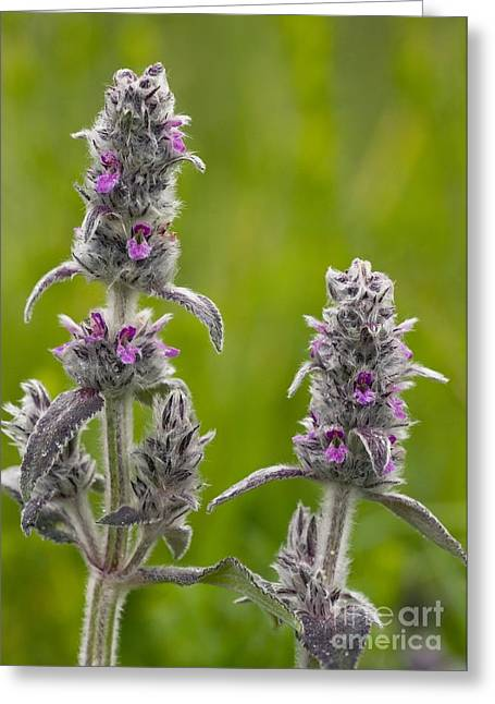 Downy Greeting Cards - Downy Woundwort Stachys Germanica Greeting Card by Bob Gibbons