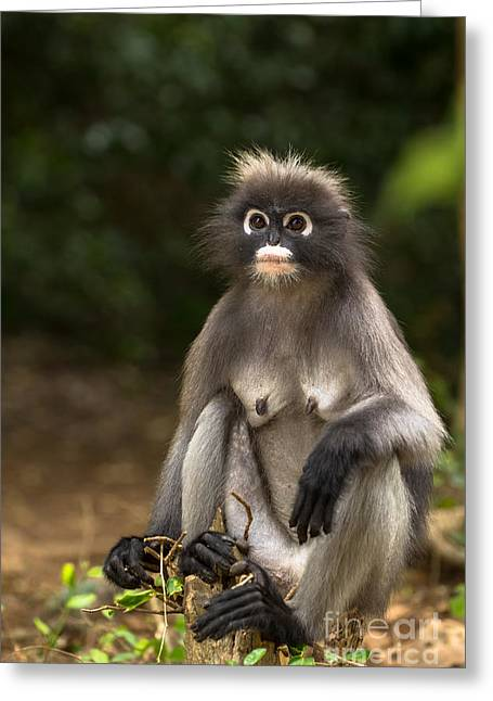 Gray Hair Photographs Greeting Cards - Dusky Leaf Monkey Greeting Card by Tosporn Preede