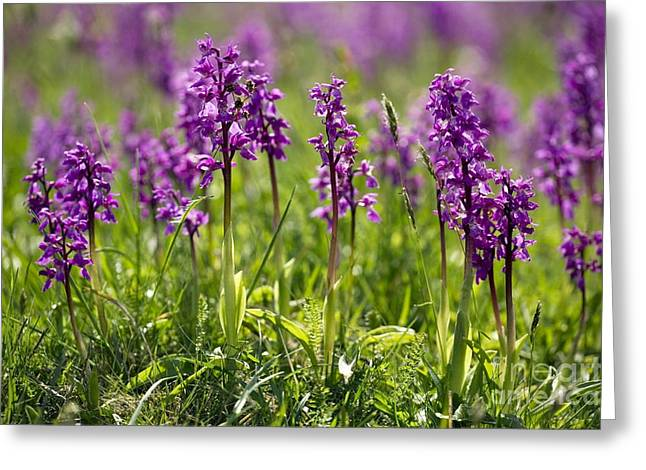 Orchis Greeting Cards - Early Purple Orchids Orchis Mascula Greeting Card by Bob Gibbons