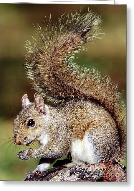 Sciurus Carolinensis Greeting Cards - Eastern Gray Squirrel Greeting Card by Millard H. Sharp