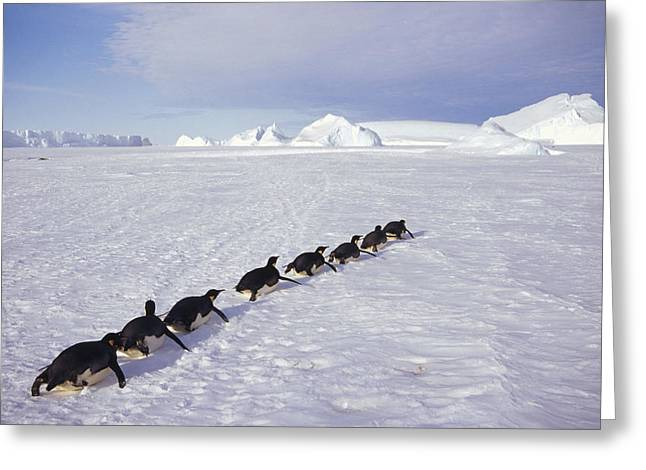 Tobogganing Greeting Cards - Emperor Penguins Tobogganing Antarctica Greeting Card by Tui De Roy
