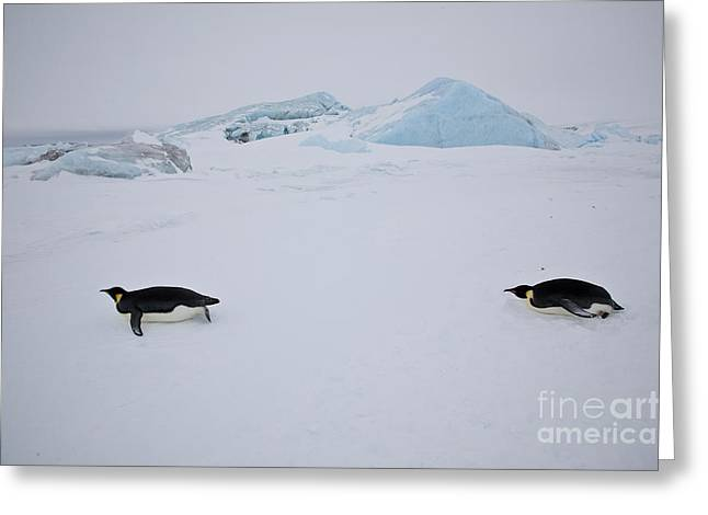 Tobogganing Greeting Cards - Emperor Penguins Tobogganing Greeting Card by Greg Dimijian