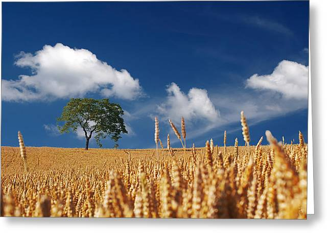 Grained Greeting Cards - Fields of Grain Greeting Card by Mountain Dreams