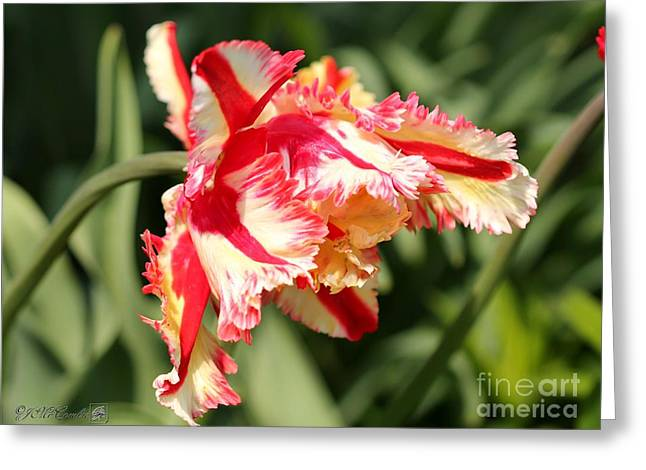 Spring Bulbs Greeting Cards - Flaming Parrot Tulip Greeting Card by J McCombie