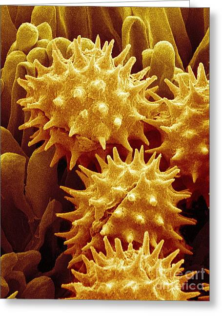 Scanning Electron Micrograph Greeting Cards - SEM of Flower Pollen Greeting Card by Susumu Nishinaga
