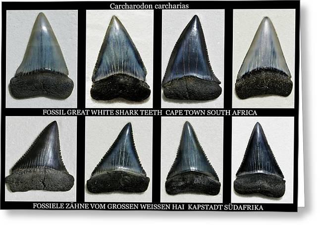 Shark Fossil Teeth Greeting Cards - Fossil great white shark teeth Greeting Card by Werner Lehmann