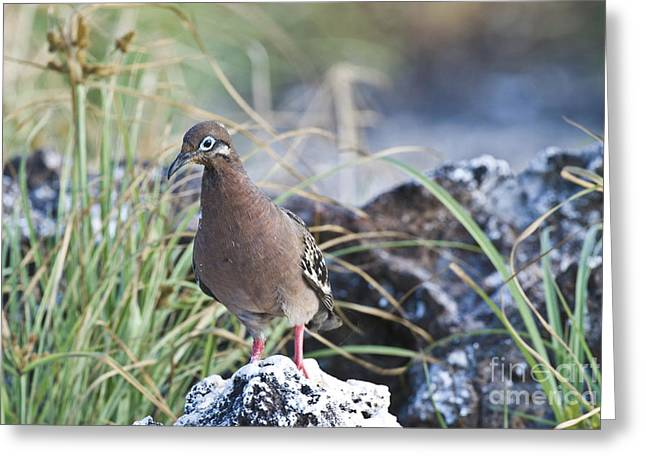 Galapagos Dove Greeting Card by William H. Mullins