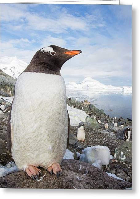 Gentoo Penguins Greeting Card by Ashley Cooper