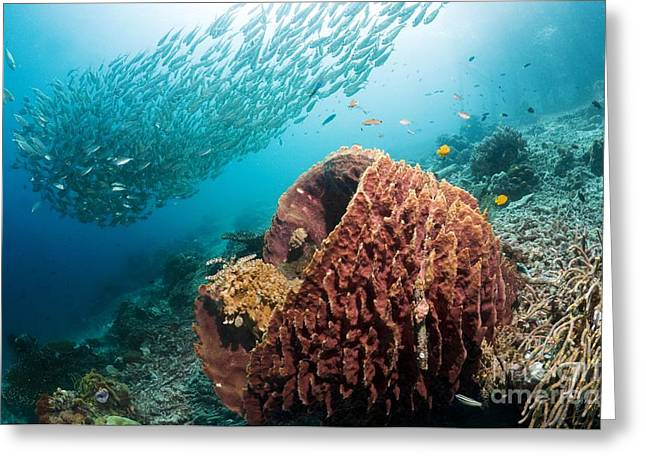 Siliceous Greeting Cards - Giant Barrel Sponge Greeting Card by Georgette Douwma