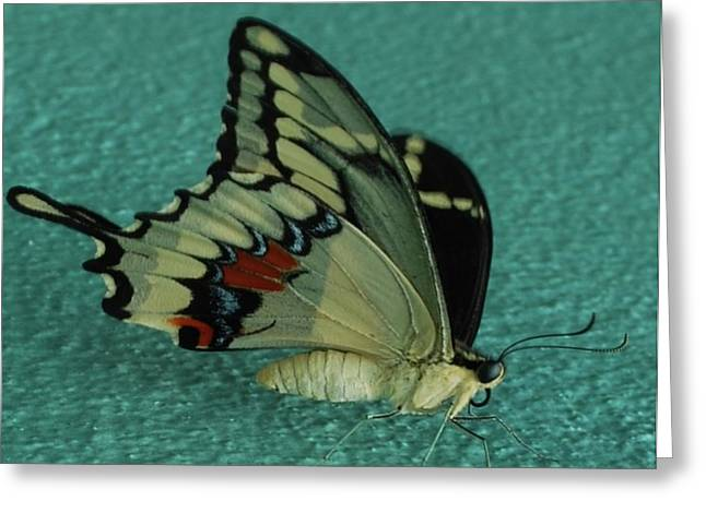 Blackart Greeting Cards - Giant Swallow Tail Butterfly Greeting Card by John Powell