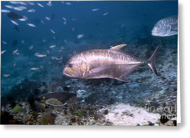 Kingfish Greeting Cards - Giant Trevally Greeting Card by Georgette Douwma