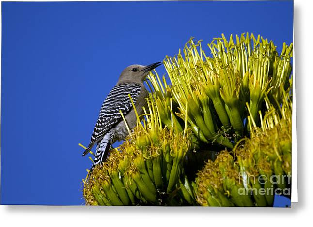 Arizona Wildlife Greeting Cards - Gila Woodpecker Greeting Card by Mark Newman