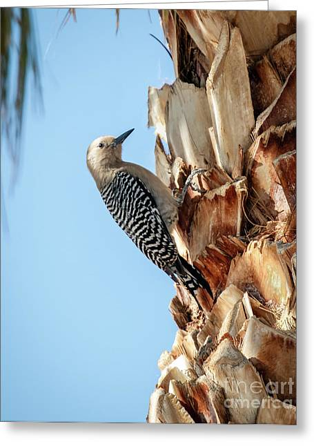 Haybale Greeting Cards - Gila Woodpecker Greeting Card by Robert Bales