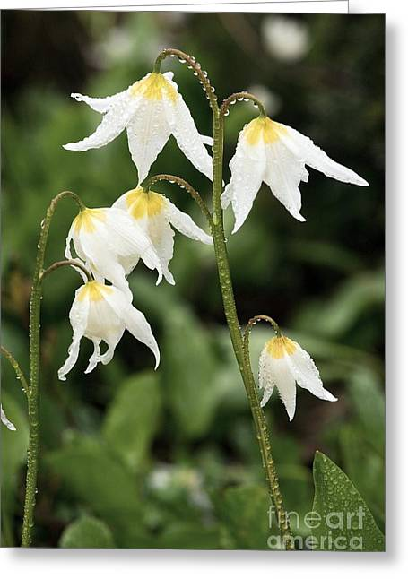 Dewdrops Greeting Cards - Glacier Lilies Erythronium Montanum Greeting Card by Bob Gibbons