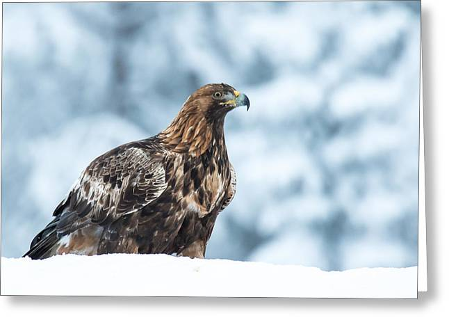 Eagle Pyrography Greeting Cards - Golden Eagle  Greeting Card by Marko Tuominiemi