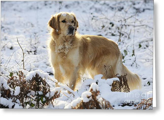 Dog In Snow Greeting Cards - Golden Retriever In Snow Greeting Card by John Daniels