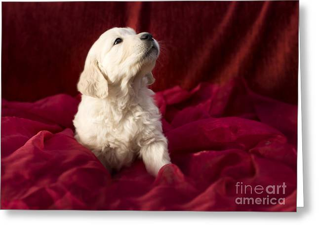 Golden retriever puppy Greeting Card by Angel  Tarantella
