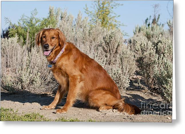 Good Looking Greeting Cards - Golden Retriever Greeting Card by William H. Mullins