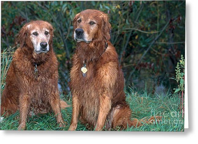 Wet Dogs Greeting Cards - Golden Retrievers Greeting Card by William H. Mullins