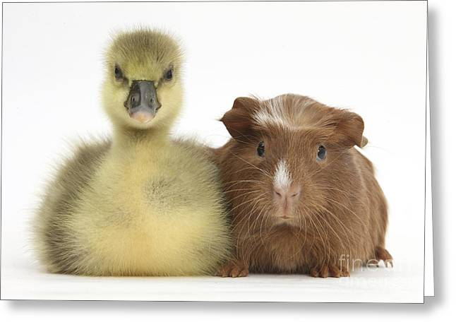 House Pet Greeting Cards - Gosling And Baby Guinea Pig Greeting Card by Mark Taylor