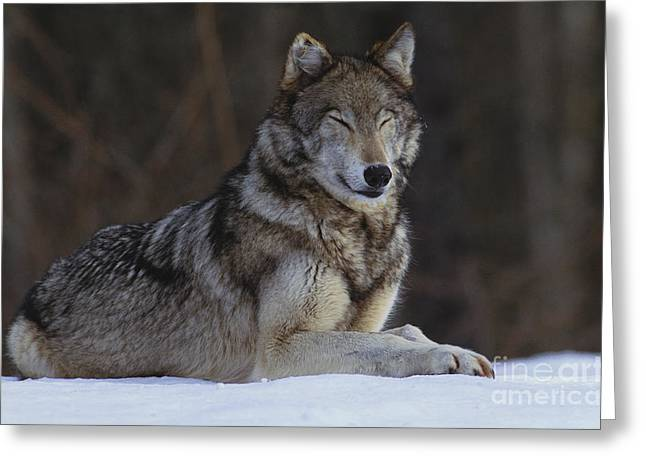 Dog In The Snow Greeting Cards - Gray Wolf Greeting Card by Art Wolfe