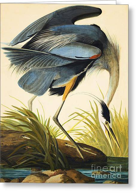 Wild Life Drawings Greeting Cards - Great Blue Heron Greeting Card by John James Audubon