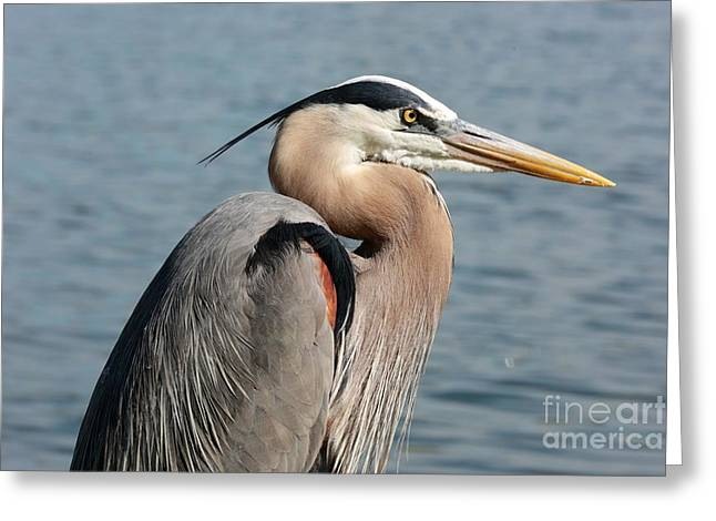 Great Blue Heron Profile Greeting Card by Carol Groenen