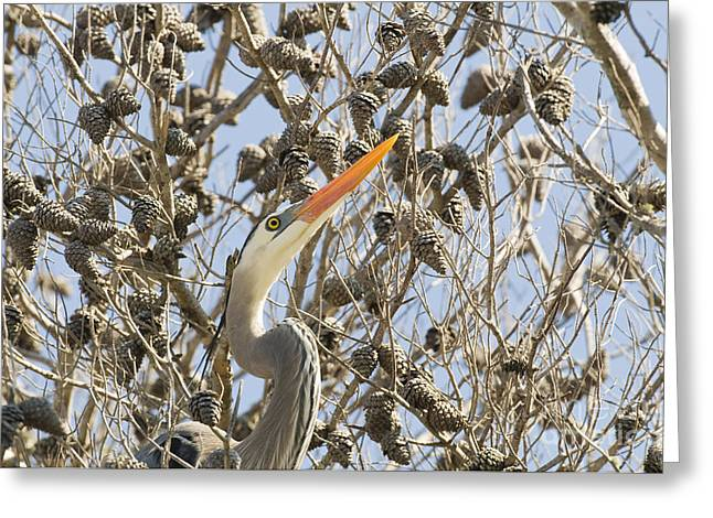 Pine Cones Greeting Cards - Great Blue Heron Greeting Card by William H. Mullins