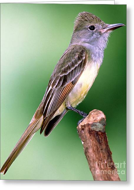 Tyrant Greeting Cards - Great Crested Flycatcher Greeting Card by Millard H. Sharp