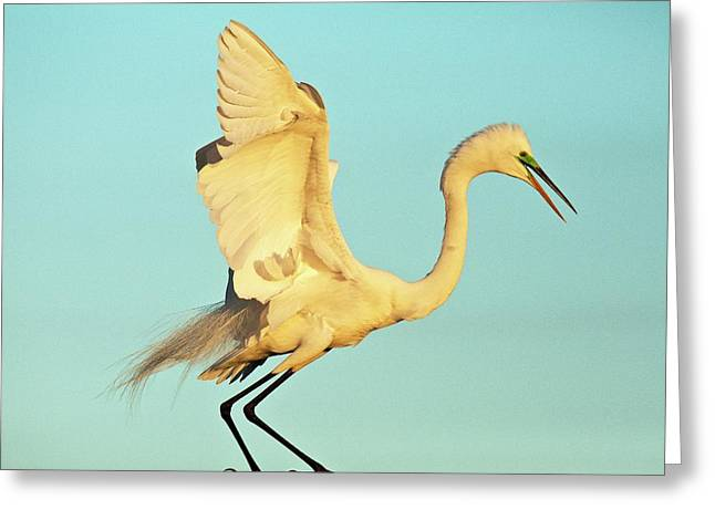 Great Egret Greeting Card by Bob Gibbons