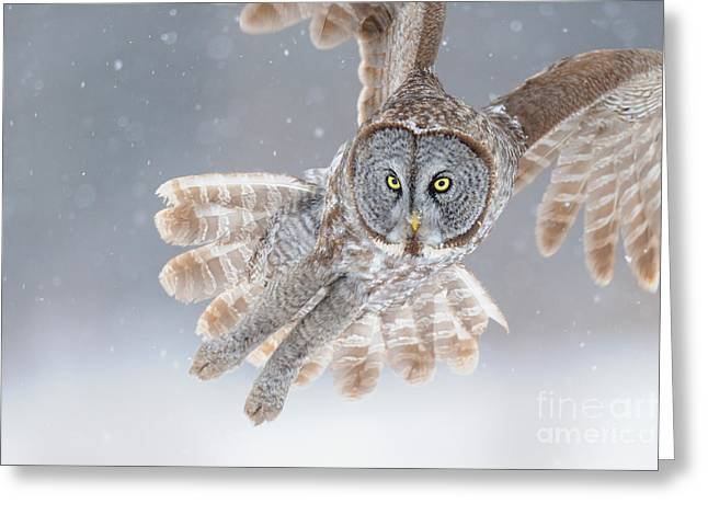 Snowstorm Greeting Cards - Great Grey Owl Greeting Card by Scott Linstead