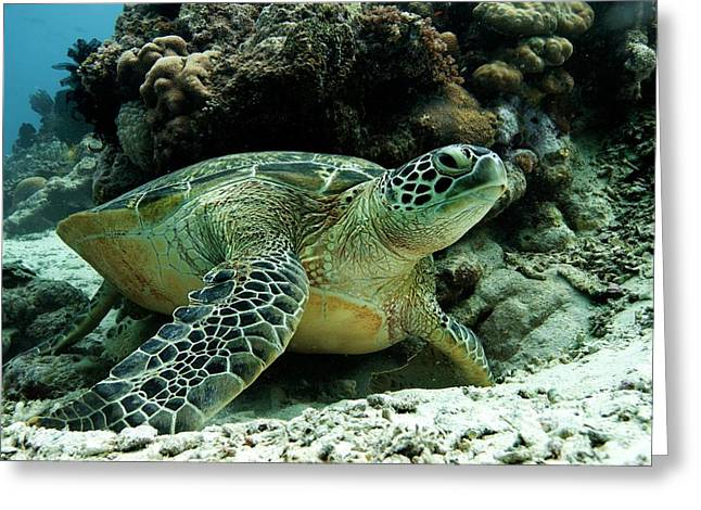 Green Sea Turtle Greeting Card by Louise Murray