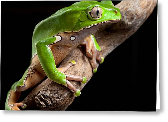 Tree Frog Greeting Cards - Green Tree Frog Amazon Rain Forest Greeting Card by Dirk Ercken
