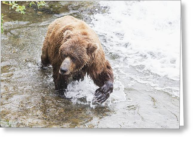 The North Greeting Cards - Grizzly Bear Ursus Arctos Fishing Greeting Card by Lucas Payne