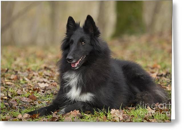 Hairy Dog Greeting Cards - Groenendael Dog Greeting Card by Jean-Michel Labat