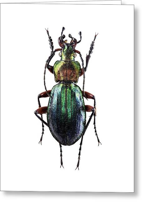 Ground Beetle Greeting Card by F. Martinez Clavel