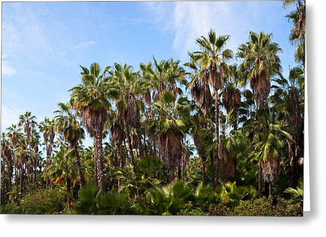 Baja California Sur Greeting Cards - Grove Of Mexican Fan Palm Washingtonia Greeting Card by Panoramic Images