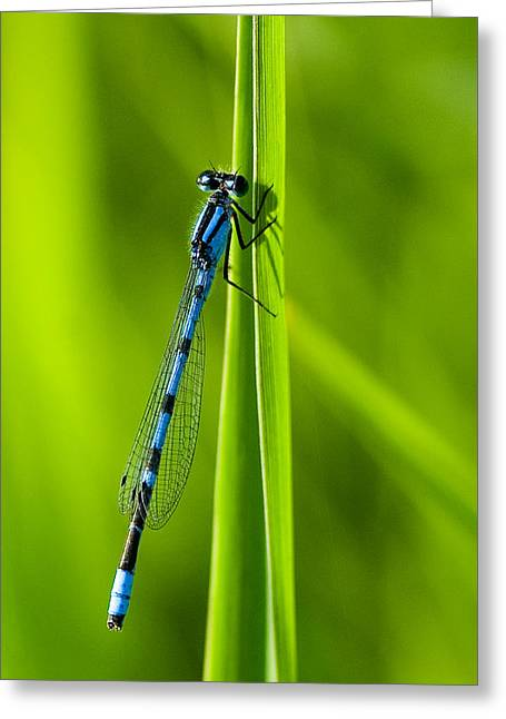 Damselfly Greeting Cards - Hagens Bluet Greeting Card by Bill Morgenstern