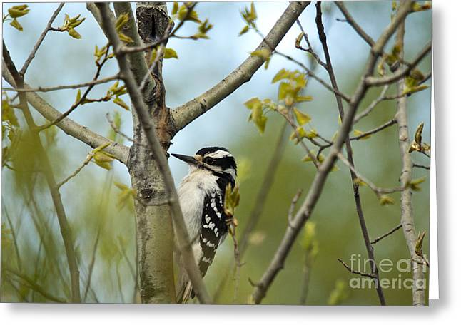 Hairy Woodpecker Greeting Card by Linda Freshwaters Arndt